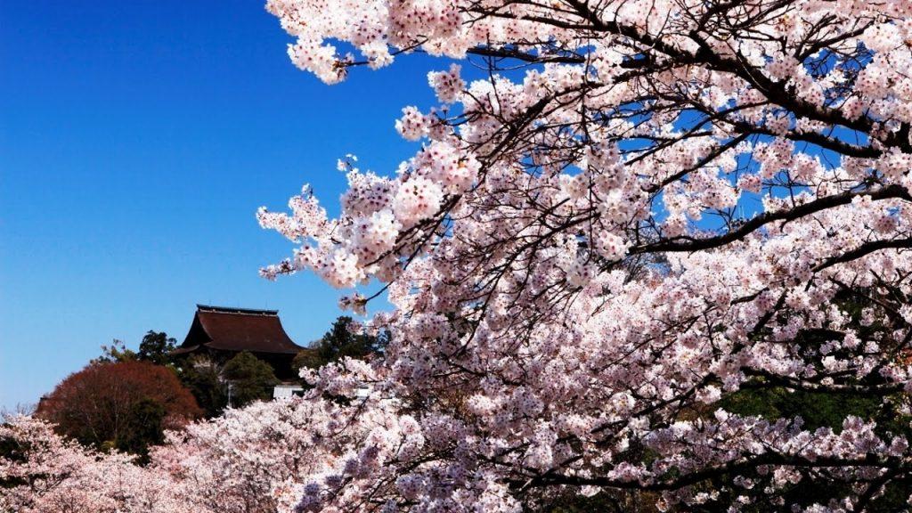 Сакура - вълшебният природен феномен в Япония 5