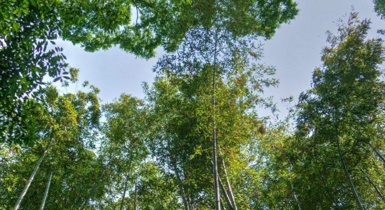 Бамбуковата гора – царството на магическите звуци
