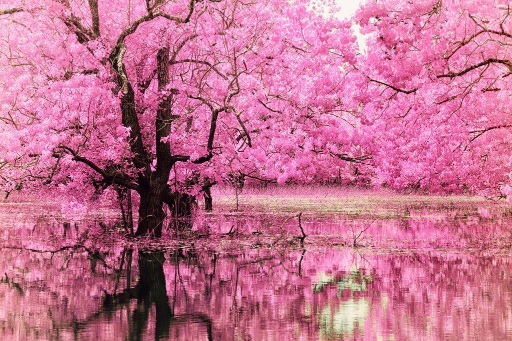 Сакура - вълшебният природен феномен в Япония 3