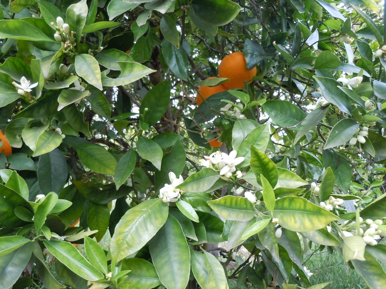 Портокалови дръвчета
