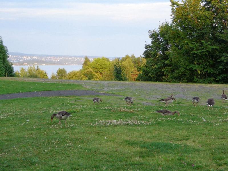 Осло, гъски пасат привечер при Северно море