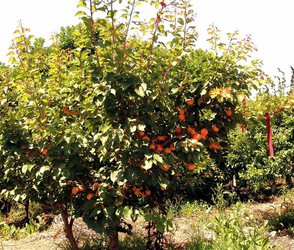 Апетитни плодове