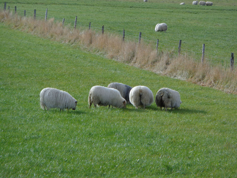 Исландските овце са прочути и с катераческите си възможности