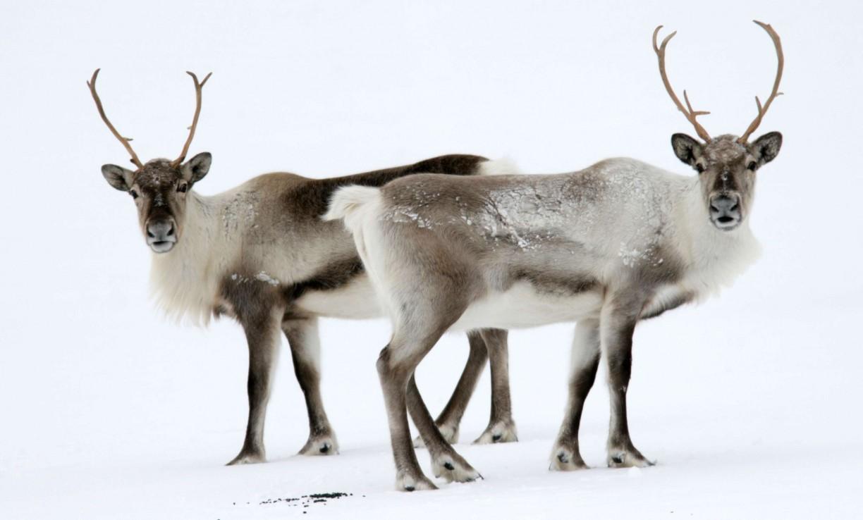 5-те най-очарователни животни на Исландия 9