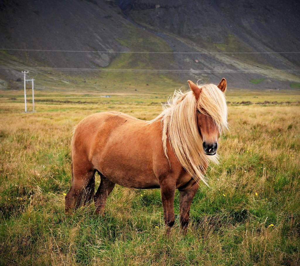 5-те най-очарователни животни на Исландия 2