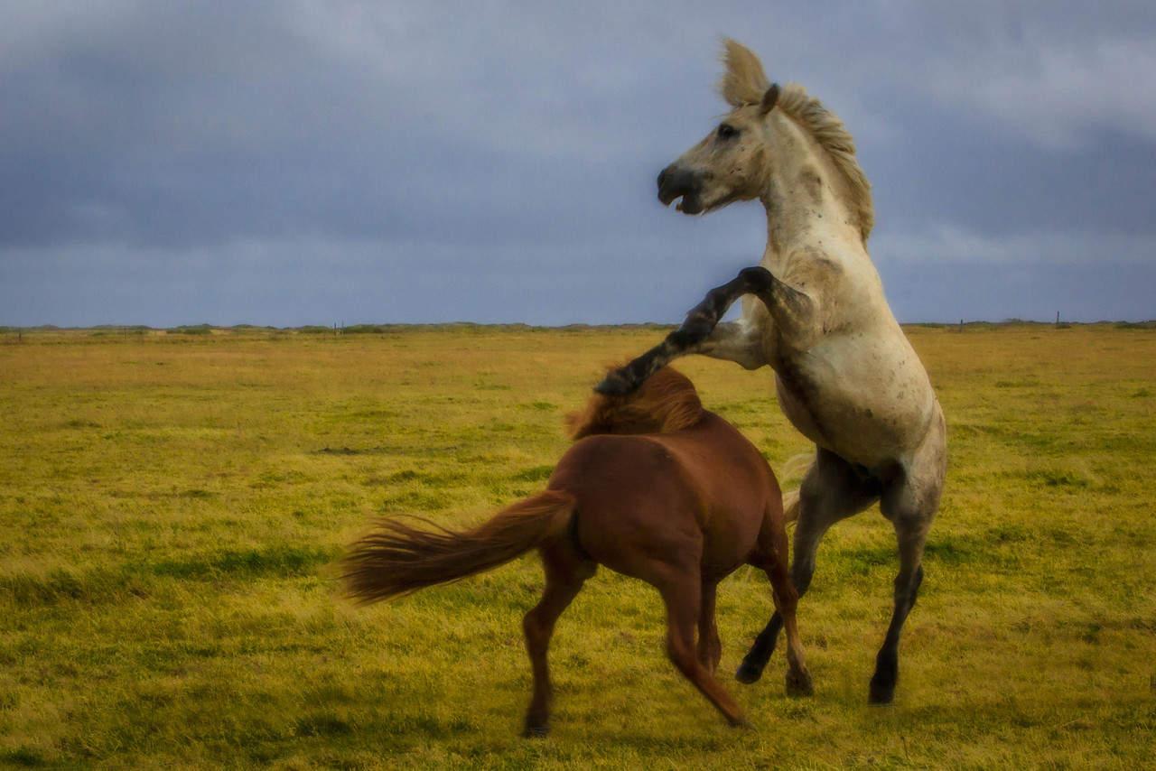 5-те най-очарователни животни на Исландия 3