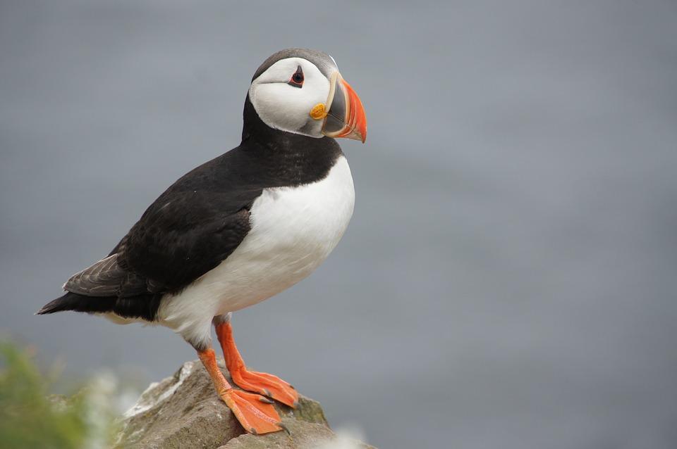5-те най-очарователни животни на Исландия 5