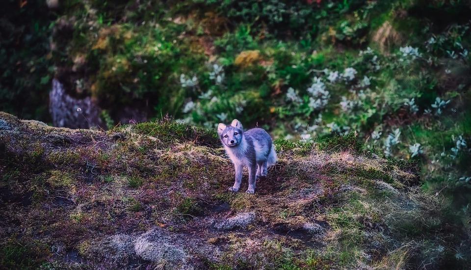 5-те най-очарователни животни на Исландия 6