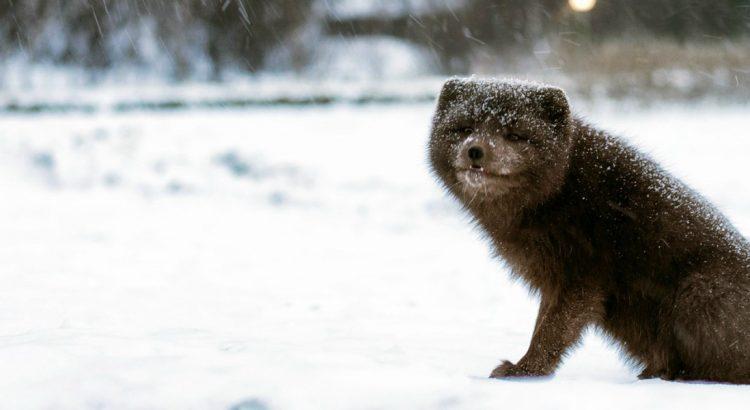 5-те най-очарователни животни на Исландия