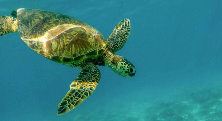 Акумал  – мястото на зелените костенурки
