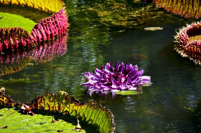 Ботаническата градина на Мавриций – сбъдната мечта - 3