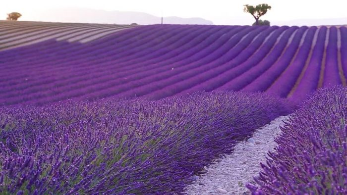 Прованс – ароматното лилаво море - 1