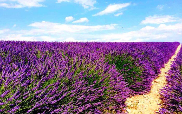 Прованс – ароматното лилаво море - 2