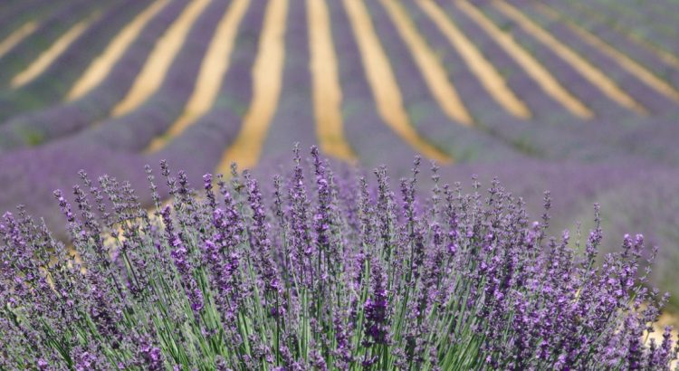 Прованс – ароматното лилаво море
