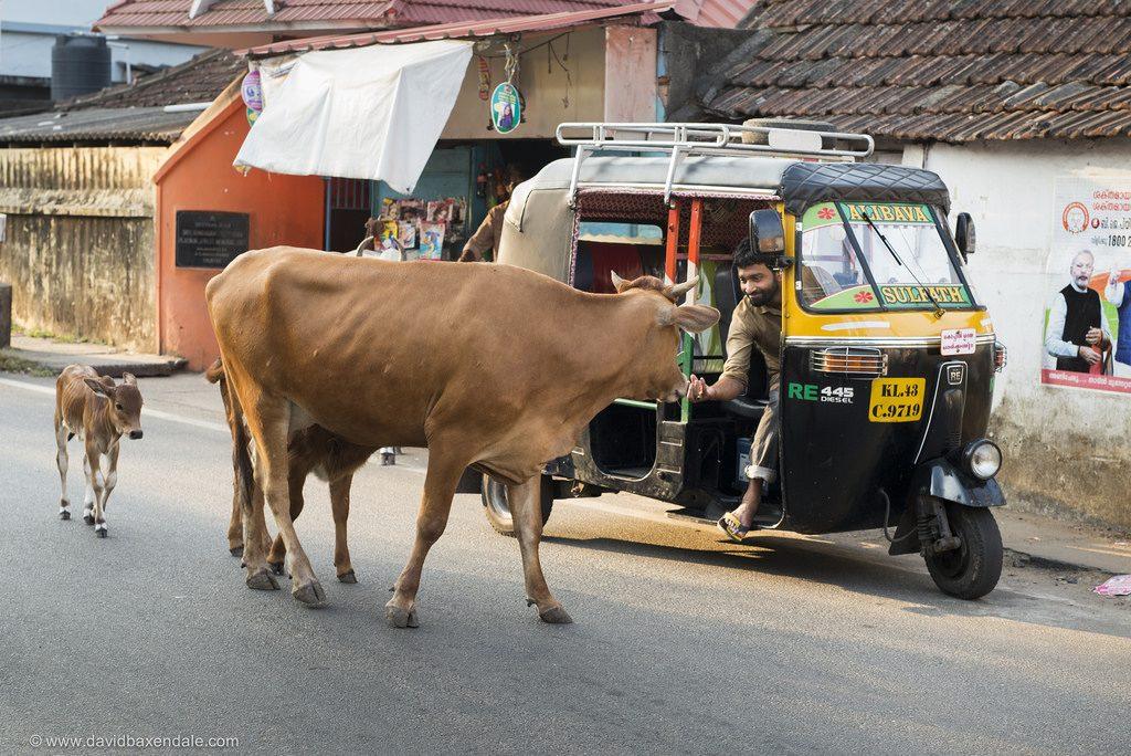 Какво е да си крава в Индия? 15