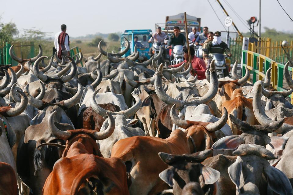 Какво е да си крава в Индия? 14