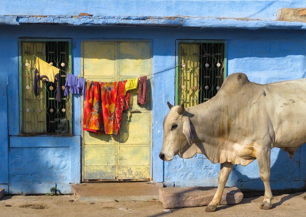 Какво е да си крава в Индия? 4