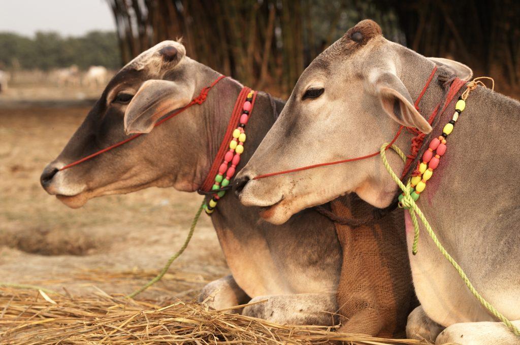 Какво е да си крава в Индия? 11