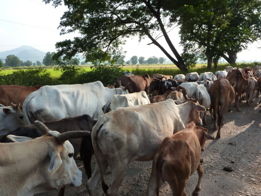 Какво е да си крава в Индия? 1