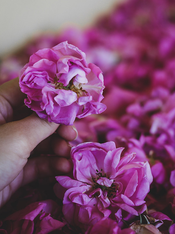 Маслодайната роза – нашето богатство 5