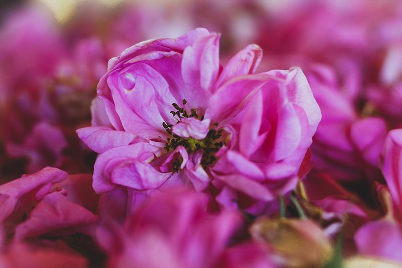 Маслодайната роза – нашето богатство 1