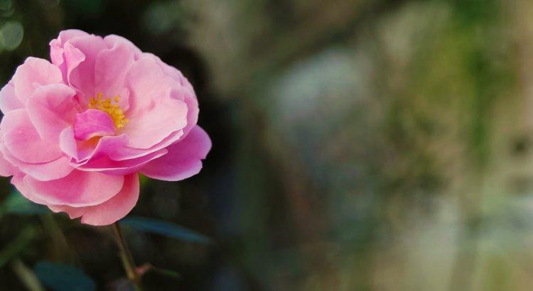 Маслодайната роза – нашето богатство