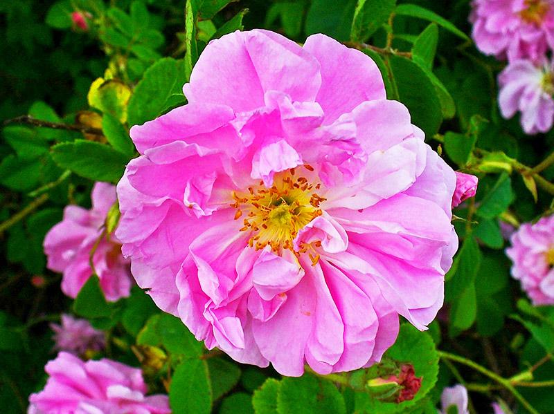 Маслодайната роза – нашето богатство 4