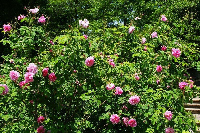 Маслодайната роза – нашето богатство 3